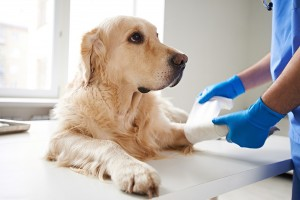 veterinarian wrapping a dog's injured paw